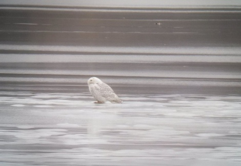 Snowy Owl at Fresh Pond Reservation. Photo by Peter Wilton
