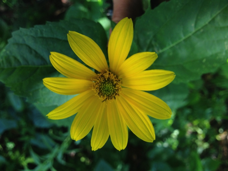 Sunflower at Fresh Pond Reservation. How would you turn this into a costume?