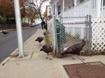 """Killit""—group of urban turkeys hanging around at Thanksgiving, term invented for the Human Nature Dictionary."