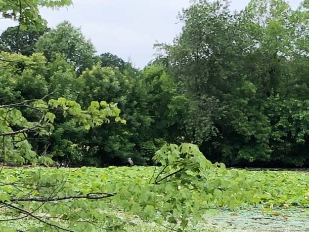 a body of water surrounded by trees and replete with lilies, a great blue heron on the opposite shore