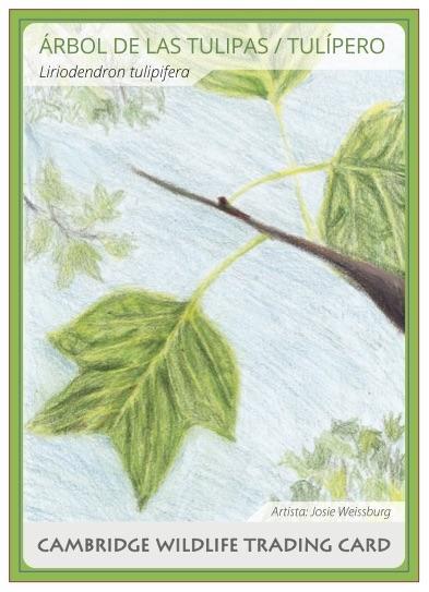 Tulip.Tree.Card.Spanish