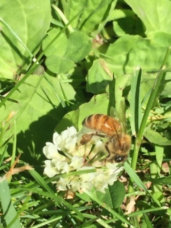 a blossom of white clover with a honeybee atop it.